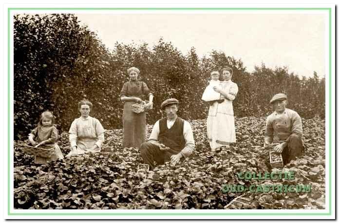 Aardbeienplukkers in Bakkum.