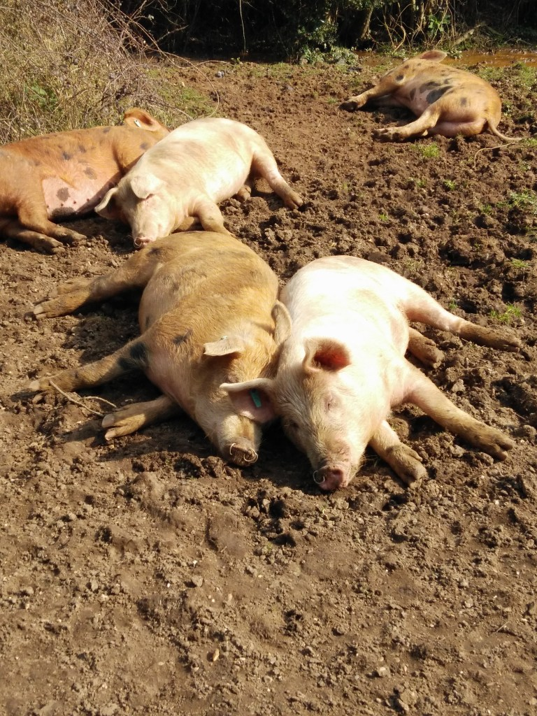 It's a pigs life