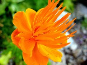 Fleur Orange - (c) 2009 OuiLeO.cOm