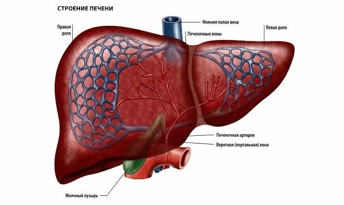 liver, liver vessels
