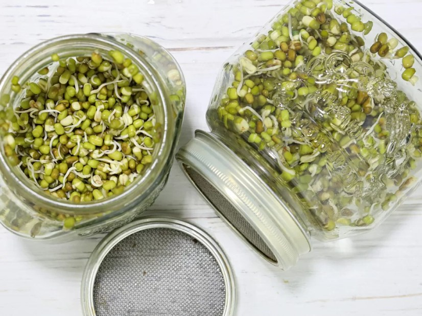 mung bean, mung bean sprouted, mung bean in a jar, masha sprouts, live food, sprouts