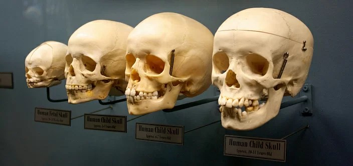 the structure of the skull at different ages