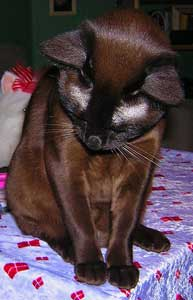 Cat Hair Loss Its Causes And Treatment