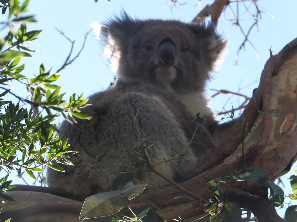Close up koala, Cape Otway National Park.