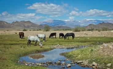 Wild horses, Mongolia