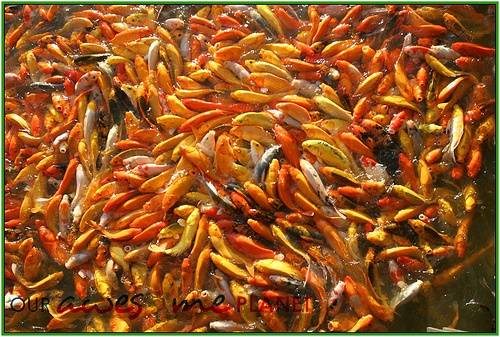 Fish Feeding and Boating @ Solenad, Nuvali • Our Awesome Planet