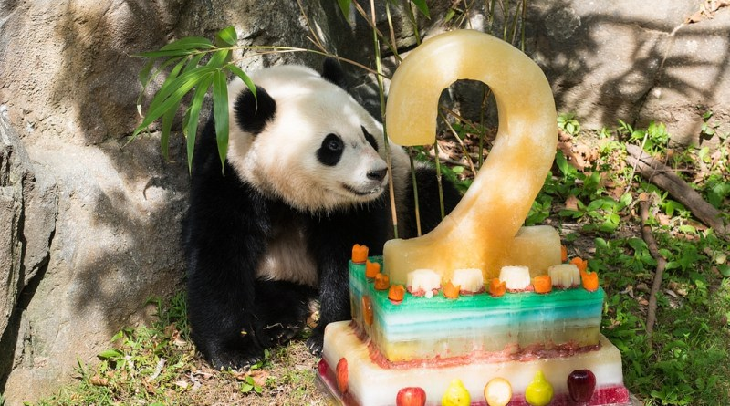 Bao Bao Celebrates her 2nd Birthday!