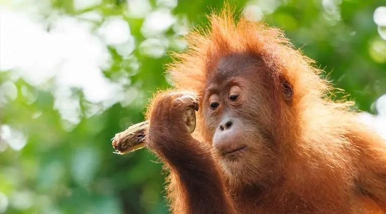 11 Human Like Behaviors Of Monkeys And Apes June 2019