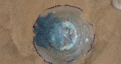 Beached Jellyfish