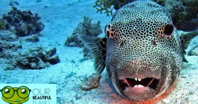 Puffer Fish Facts - Our Beautiful Planet