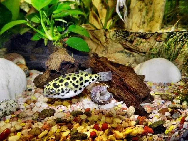 Dwarf/Pygmy Puffer Fish