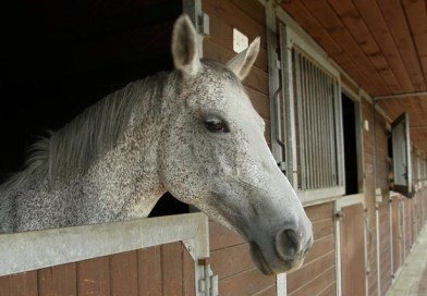 The Evolution of Domestic Horses
