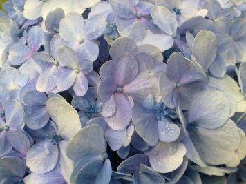 Hydrangea - Nursery (2011-08-28) 02