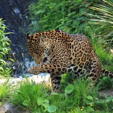 wild-jaguar-11280240787MT6X
