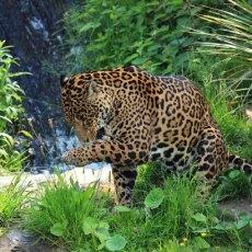 wild-jaguar-11280240787MT6X