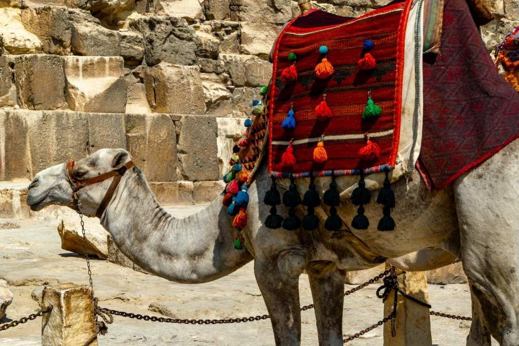 Cairo Layover: Camel at Giza