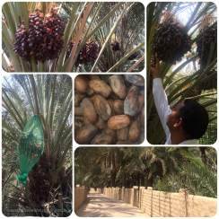 Al Ain Oasis | things to do with family in the UAE