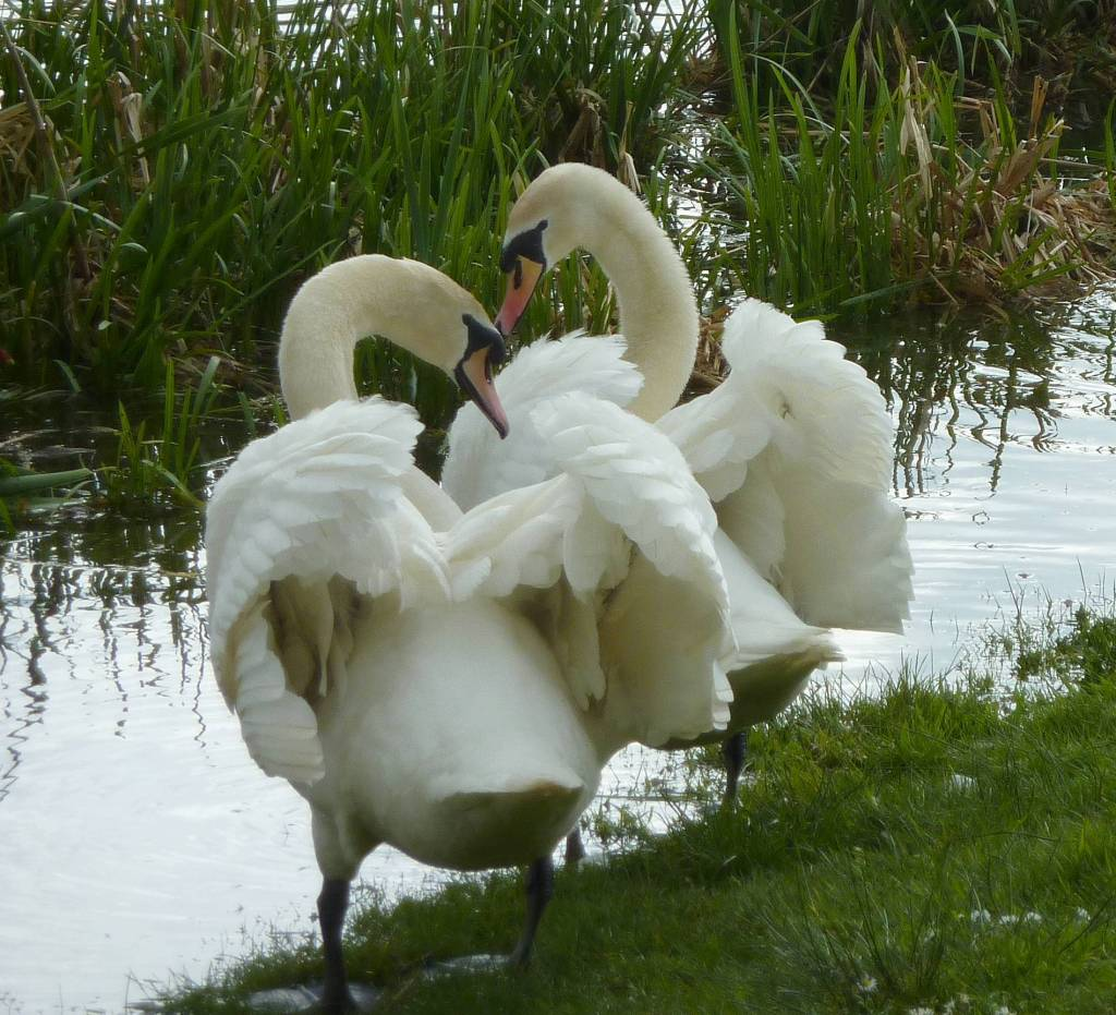 young swans bonding