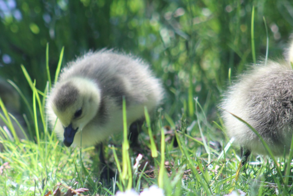 Baby Canada geese born in May by Fidelma Fitzgerald 1