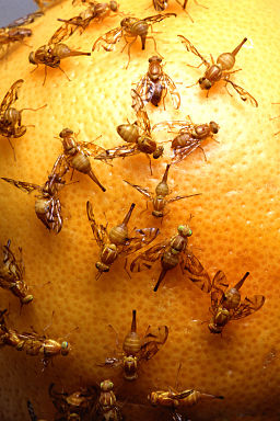 Get Rid of Fruit Flies Naturally