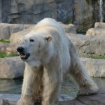 Lions and Tigers and Bears Oh, My! at the Brookfield Zoo