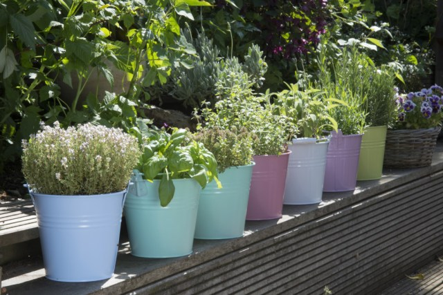 herbs in colored buckets in garden