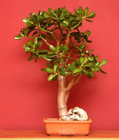 The Jade Plant (Crassula ovata) can make a fantastic Indoor Bonsai Tree