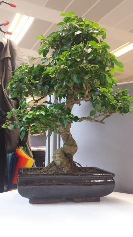 It takes time for a Bonsai to reach a mature height, but when it does it looks amazing
