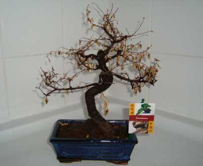 A Bonsai tree needs regular watering to prevent it from dying