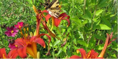 Saving_Pollinators_in_Your_Yard