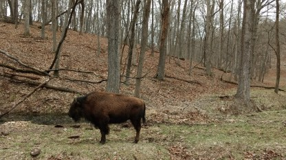 Bison in Lone Elk County Park