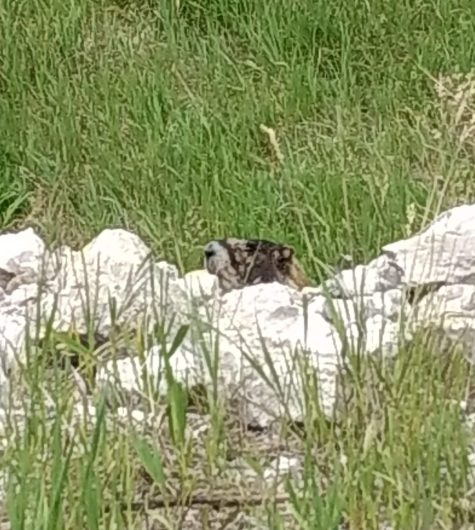 """In the """"Grand Canyon"""" of Wyoming we encountered a marmot that was interested in us as we were of him."""