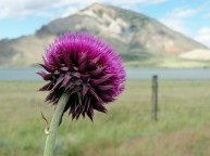 Lone thistle along the dirt roads West of Cody, WY