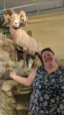 Barb kept searching for a bighorn sheep out in the wild, this one at the Mammoth Springs visitor center had to suffice for the trip