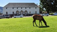 Elk grazing out in front of the Yellowstone Post Office at old Fort Yellowstone