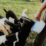Feeding the goats of the Golden Acres Goat Ranch (Florida)
