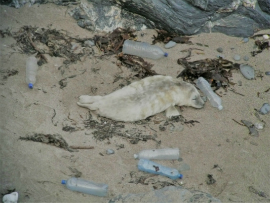 Baby seal pup on a beach surrounded by plastic