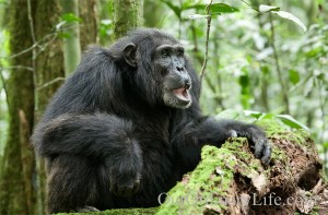 Disneynature Chimpanzee Scar