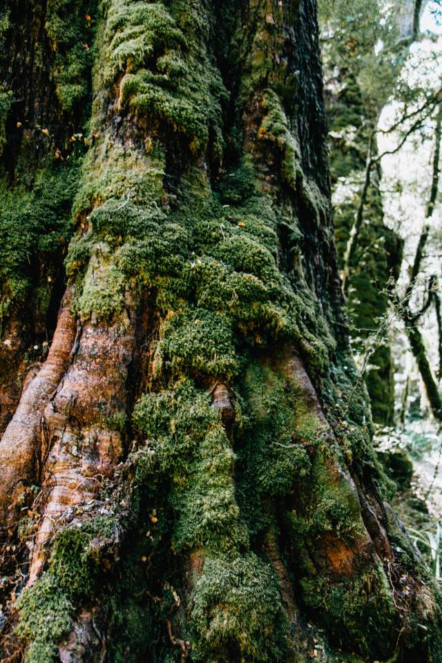 A tree covered in moss - Milford Sound itinerary