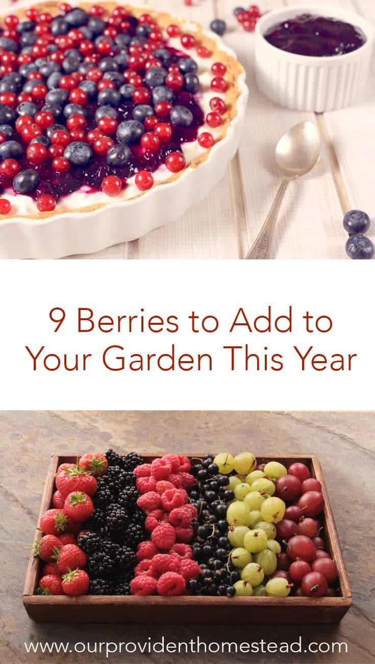 Do you want to sweeten up your garden this year? Click here to see the 9 berries to add to your garden. Your sweet tooth will thank you! #garden #gardening #growingberries #growingfruit #gardeningtips