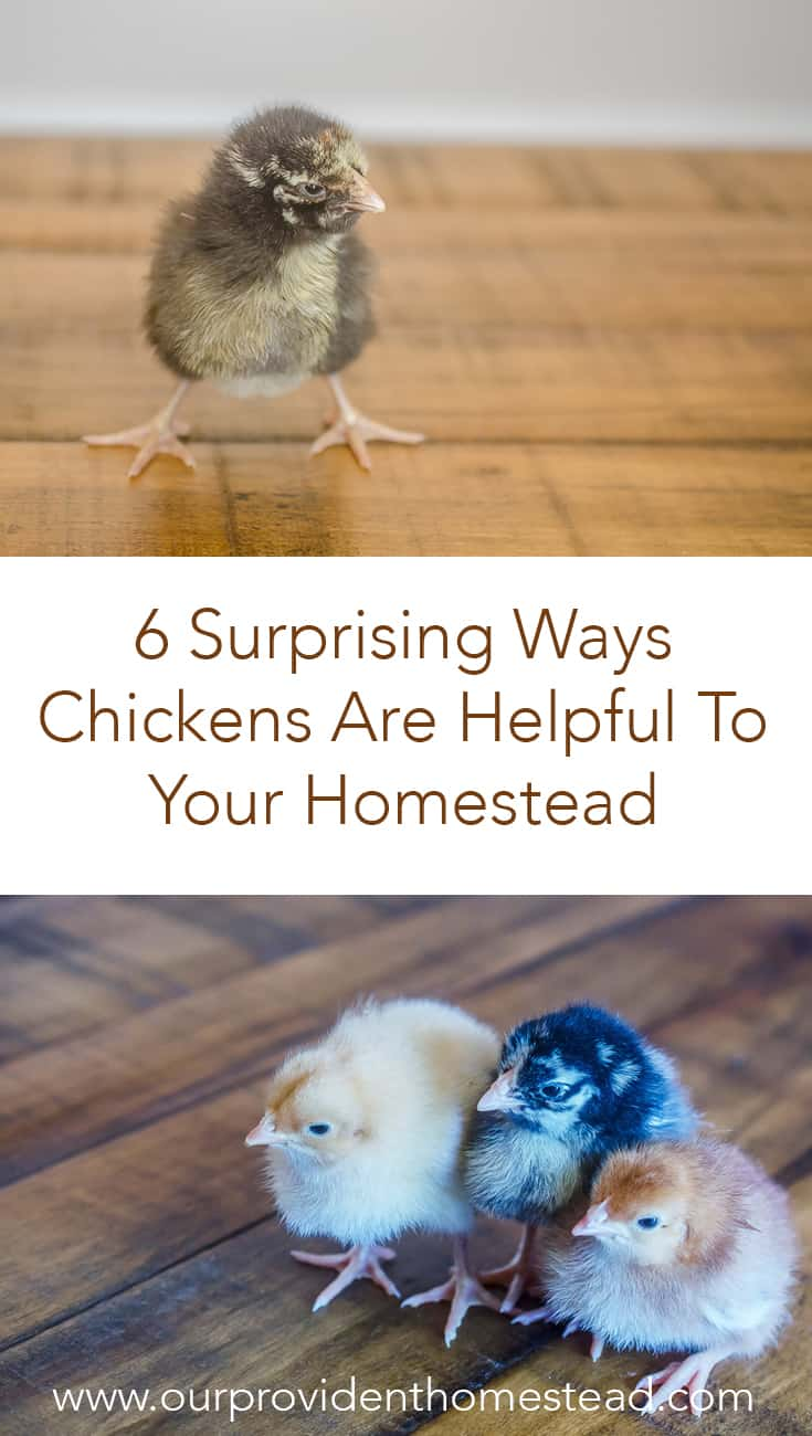 Are you thinking about getting chickens for your homestead? Click here to see 6 reasons why chickens are helpful on the homestead and why you should get chickens this year! #homestead #homesteading #chickens #backyardchickens #raisingchickens