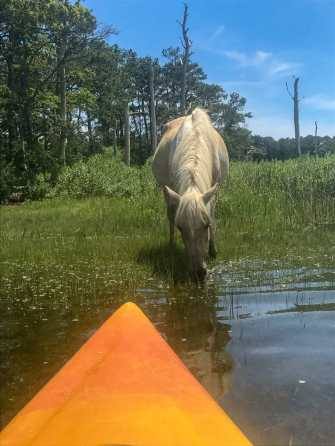 Look how close we were to the Chincoteague wild pony during our kayak eco tour!