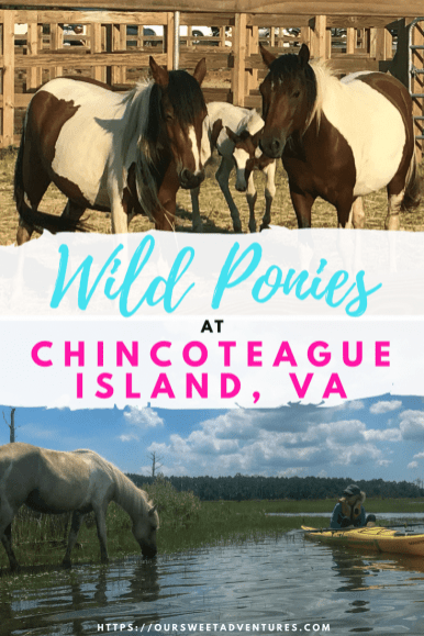 Did someone say wild ponies?!?! Yes, you can see Chincoteague's famous wild ponies by cruise, kayak, or during the annual pony swim! It is an experience you cannot miss. #Virginia #Chincoteague #WildPonies #Pony #EastCoast