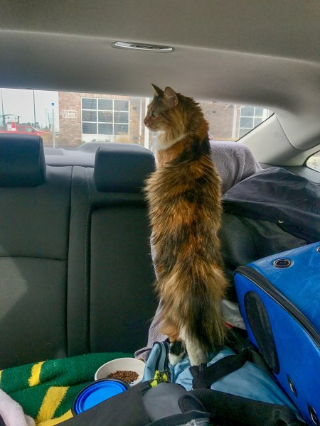 Traveling with cats in a car long distance does not need to difficult. Just make sure you know what your cats needs and wants. For us, Tira loves to roam around and look out the window.