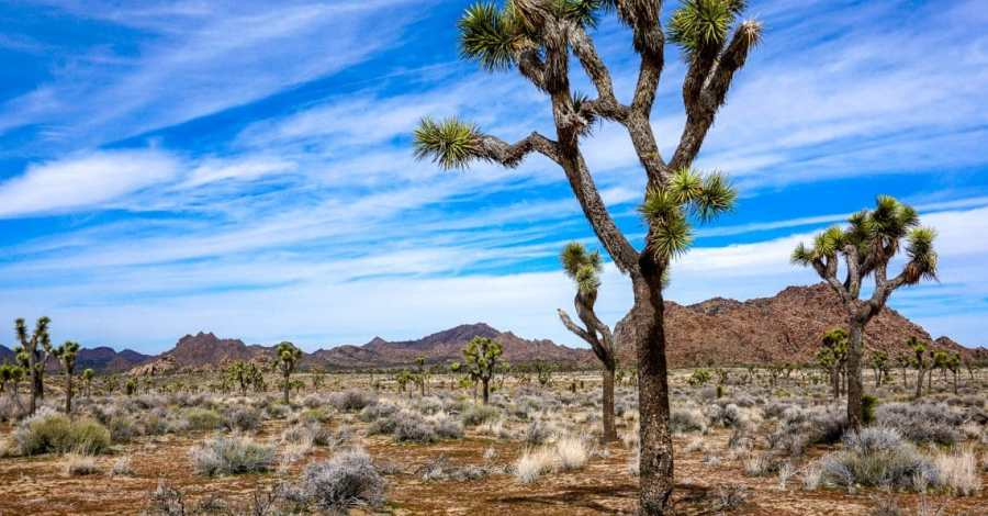 A picturesque photo of a large Joshua tree in the front with several more in the background.