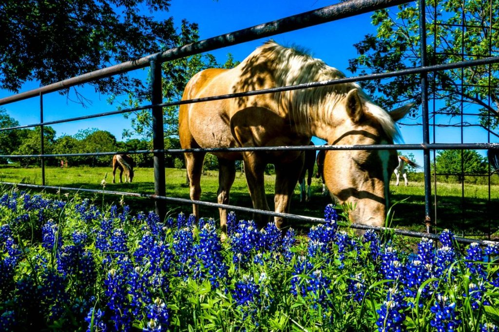 A horse near a metal fence getting a drink of water with a close up on bluebonnets.