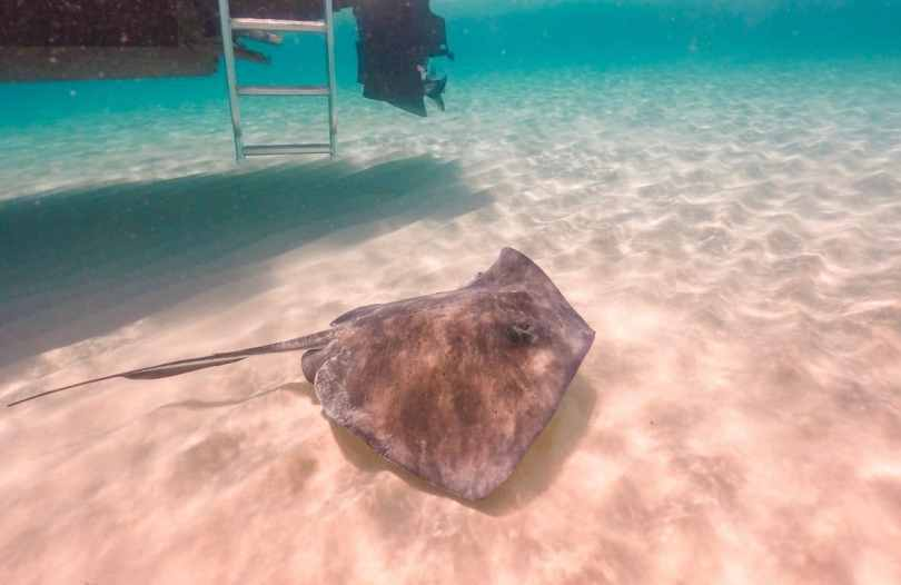 A stingray swimming at the bottom of the ocean near a boat.