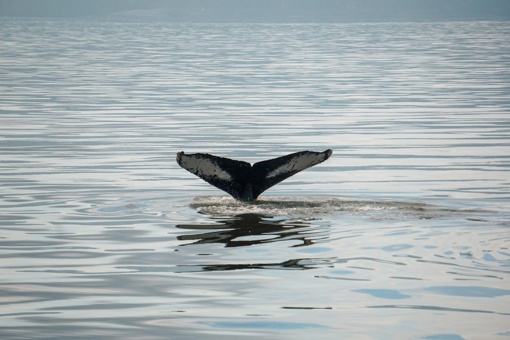 A humpback whale tail breaching the water - an experience you cannot miss in your 3 days in Vancouver itinerary.