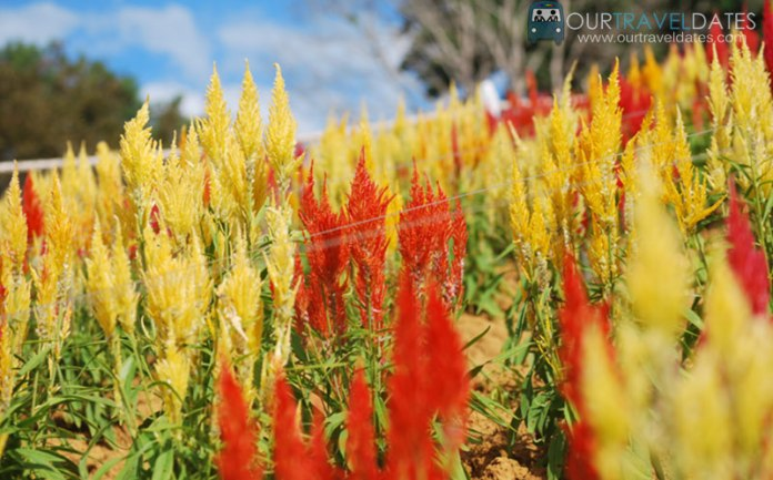 sirao-flower-garden-cebu-philippines-our-travel-dates-image14