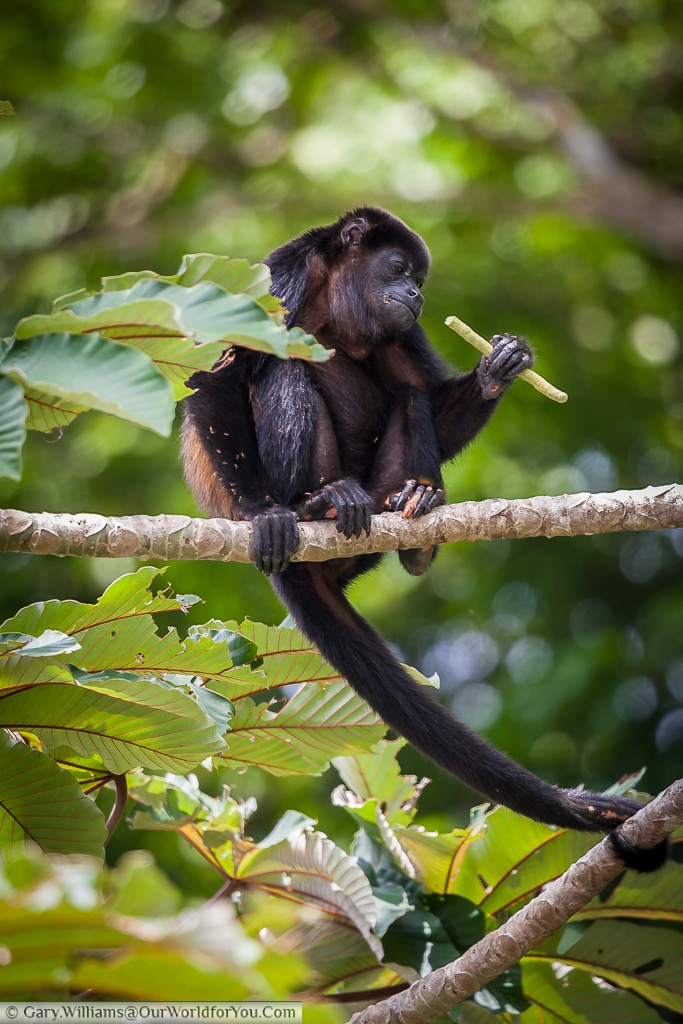 This mantled howler monkey, using its tail to provide extra security.